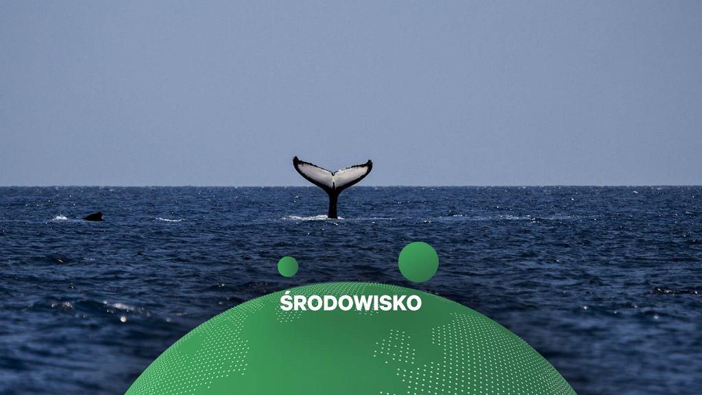 Wieloryb (Zdjęcie ilustracyjne)