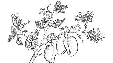 Griffonia simplicifolia to inaczej czarna fasola afrykańska