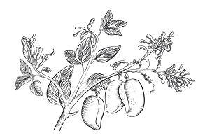 Griffonia simplicifolia (czarna fasola afrykańska) - 5HTP, właściwości, dawkowanie