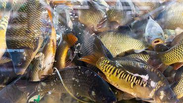 Sieci handlowe wycofują się ze sprzedaży żywych karpi. Organizacje walczą jeszcze z E.Leclerc