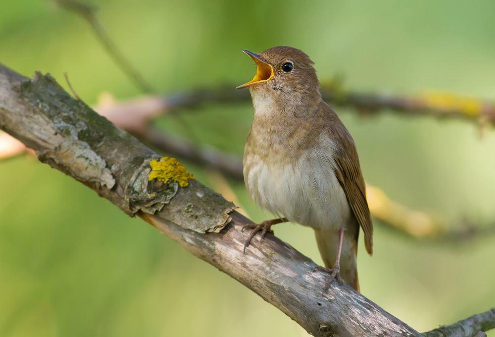 Ptaki, które odlatują na zimę - słowik. Zdjęcie ilustracyjne