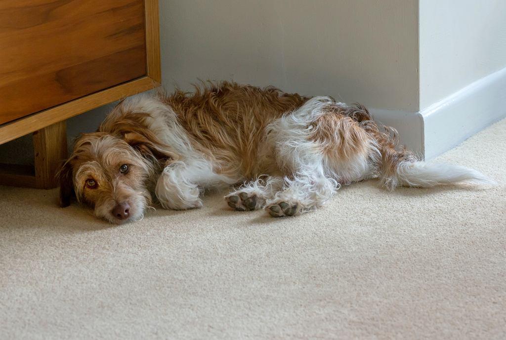 31 grudnia. Jak chronić psa przed sylwestrem i fajerwerkami? (zdjęcie ilustracyjne)