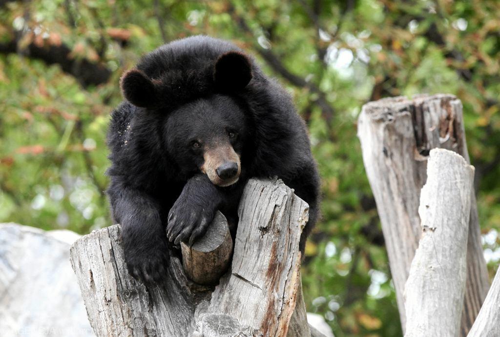 Alaska. Kłusownicy zastrzelili hibernującą niedźwiedzicę i jej młode (zdj. ilustracyjne)