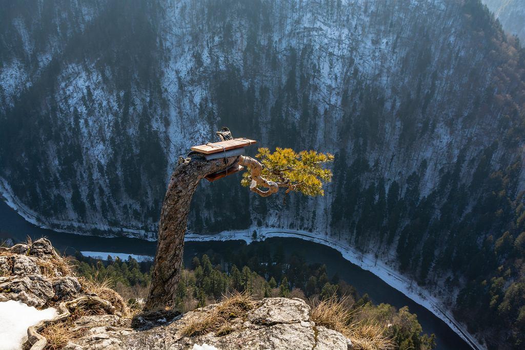 Sosna od 500 lat zdobi Sokolicę