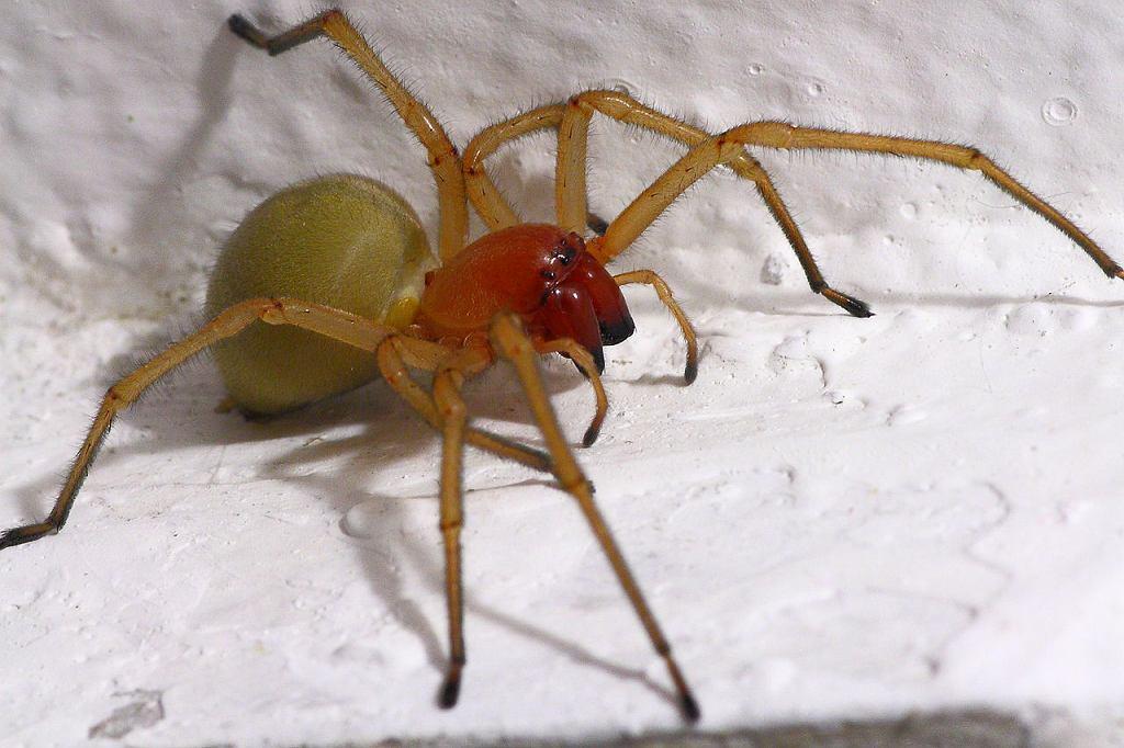 Kolczak zbrojny to jadowity pająk, który występuje w Polsce