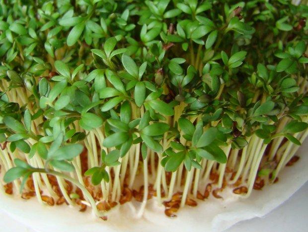 Rzeżucha wspomaga również procesy trawienne, w związku z czym, jest idealnym składnikiem oczyszczających kuracji wiosennych.