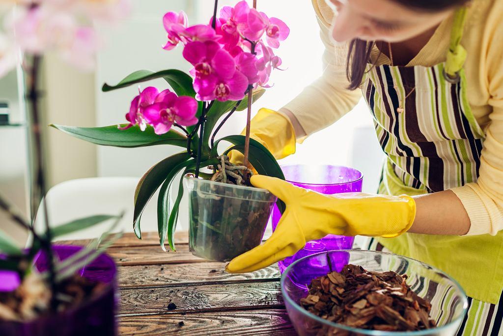 Dobrym sposobem na piękne storczyki jest zastosowanie drożdży piekarskich. Zdjęcie ilustracyjne