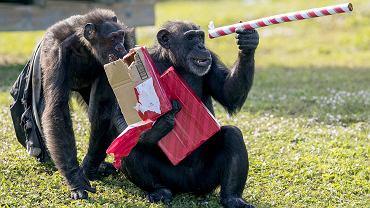 Szympansy oglądają świąteczne prezenty w Lion Country Safari, na Florydzie