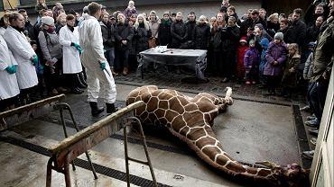 Marius, żyrafa z kopenhaskiego zoo, już martwy - czeka na autopsję. Wokół miejsca, w którym leżało ciało zwierzęcia, gromadzili się gapie, w tym dzieci