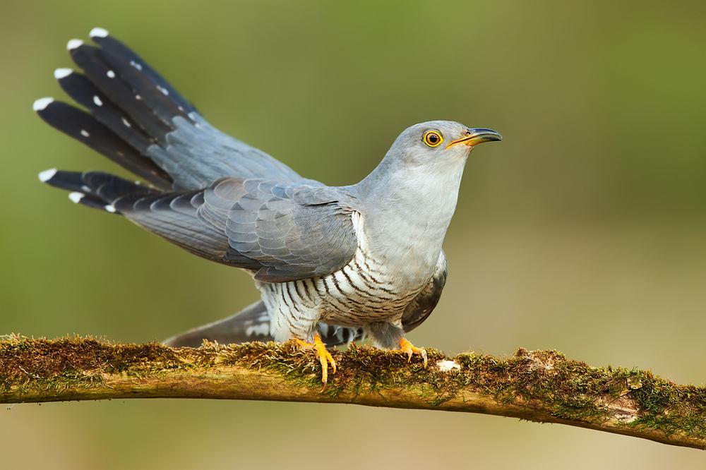 Ptaki, które odlatują na zimę - kukułka. Zdjęcie ilustracyjne