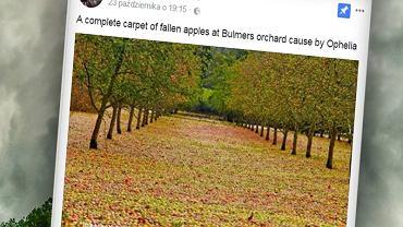 Ophelia zaścieliła sad dywanem z jabłek