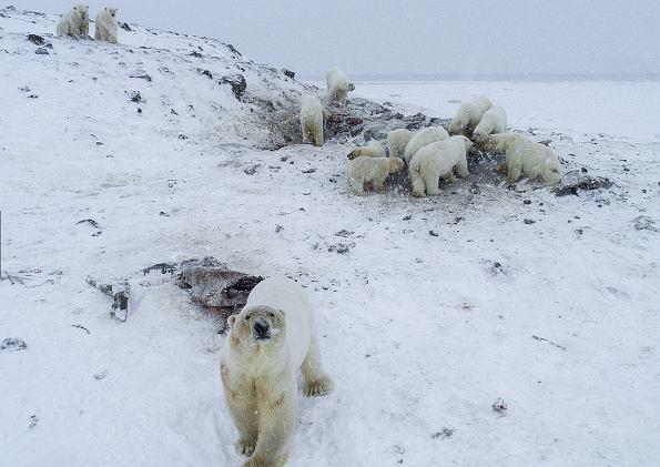 'Inwazja' niedźwiedzi w wiosce na Czukotce