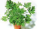 Geranium - jak je wykorzystać w kuchni