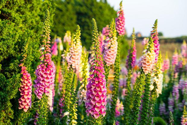 Kwiaty / rośliny niebezpieczne dla psa i kota: Naparstnica purpurowa. Zdjęcie ilustracyjne