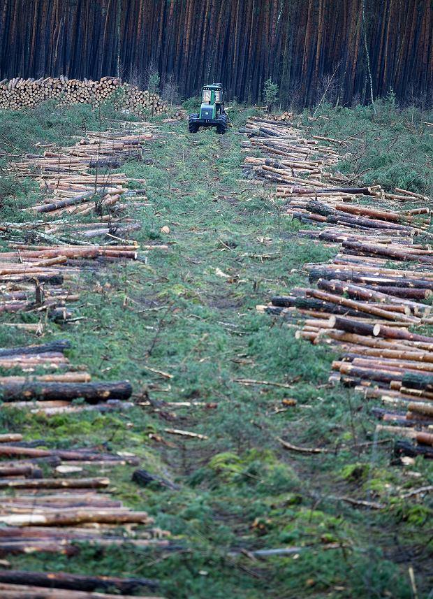 Po protestach ekologów sąd nakazał wstrzymanie karczowania drzew na terenie pod budowę gigafabryki w Brandenburgii./Fot. Britta Pedersen/dpa via AP