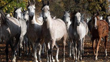 Konie w stadninie w Michałowie (zdj. z 2008 roku)