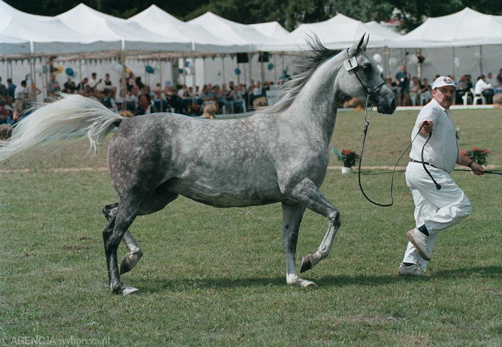 Aukcja koni arabskich