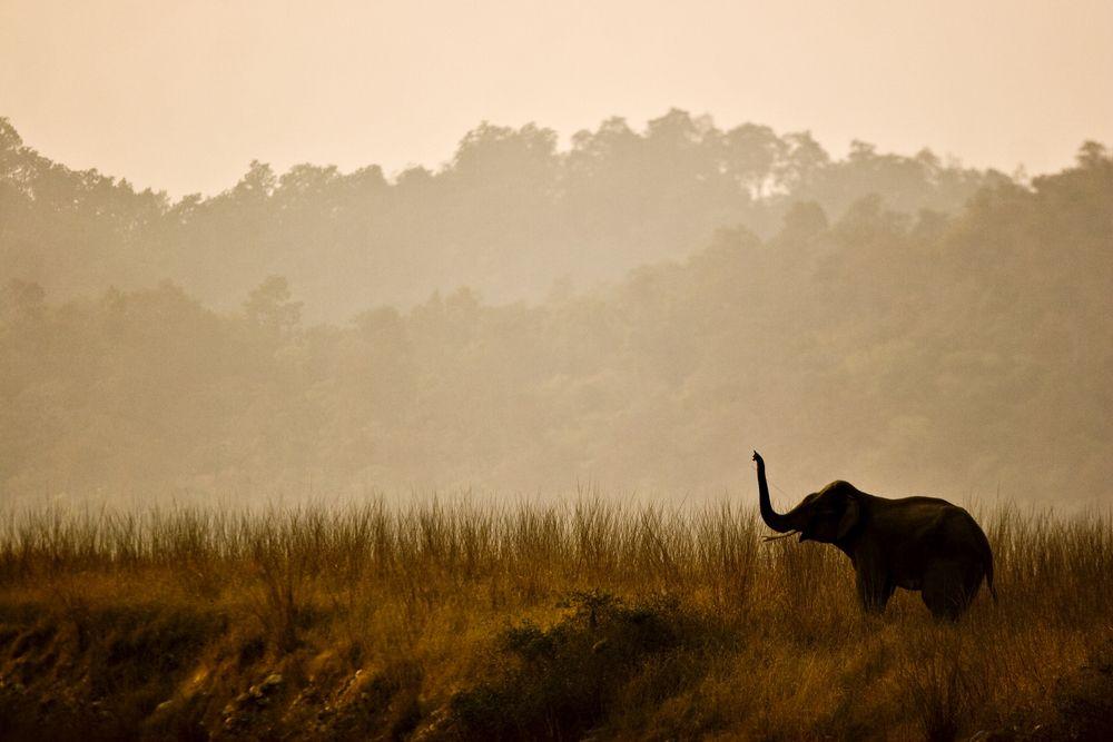 Słoń indyjski na sawannie. Park Narodowy Corbetta, Indie / fot. Shutterstock