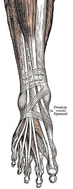 Gray's Anatomy - więzadła, mięśnie i kości stopy