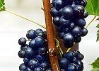 Winorośl - zakładanie domowej winnicy