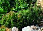 Sosna (Pinus)