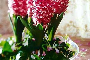 Tulipany, hiacynty i inne rośliny cebulowe