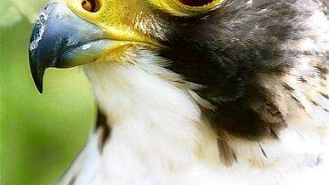 Sokół wędrowny - najszybsza istota na świecie. Ten piękny ptak niemal wymarł w Polsce
