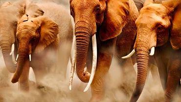 Słonie w Parku Narodowym Amboseli w Kenii