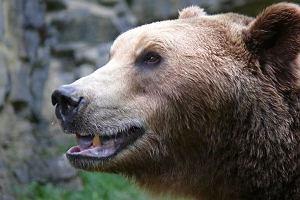 Niedźwiedź brunatny.
