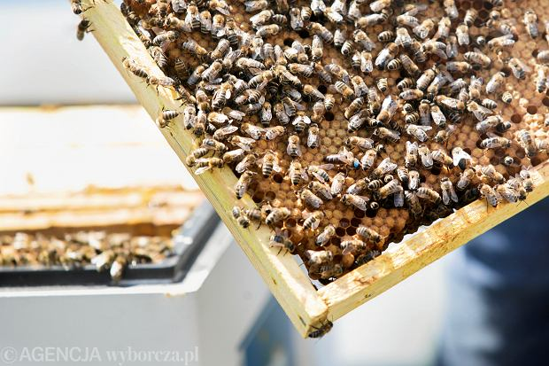 Pszczoły w Krakowie