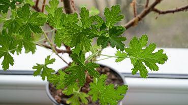 Anginka to roślina doniczkowa, która ma szerokie zastosowanie. Zdjęcie ilustracyjne