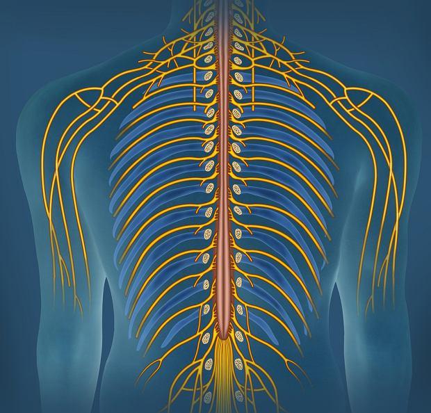Somatyczny układ nerwowy: budowa i funkcje