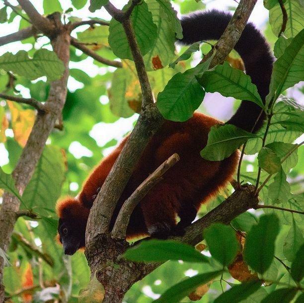 Lemur w Hali Masoala w zoo w Zurichu/ fot. CC-BY 2.0/ kuhnmi/Flickr.com