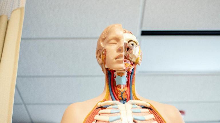 Model anatomiczny człowieka