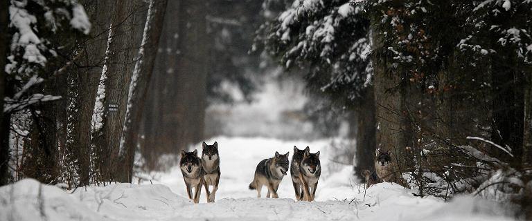 Brzozów. W lesie zaatakowały ich wilki. Odpalili piły spalinowe