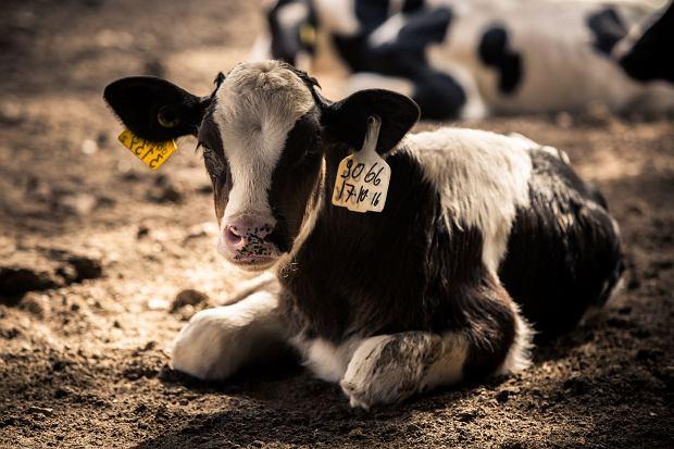 Cierpienie zwierząt hodowlanych oraz ich niehumanitarny ubój to drugi, po antybiotykach, powód ograniczania mięsa w diecie