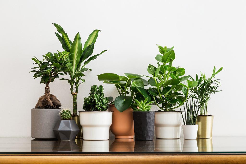 Kwiaty docznikowe łatwe w uprawie? Zacznij od sukulentów lub zamiokulkasa