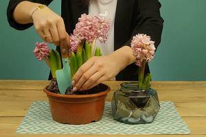 Wprowadź wiosnę do swojego domu. Hiacyntowy ogródek pięknie ozdobi każde wnętrze