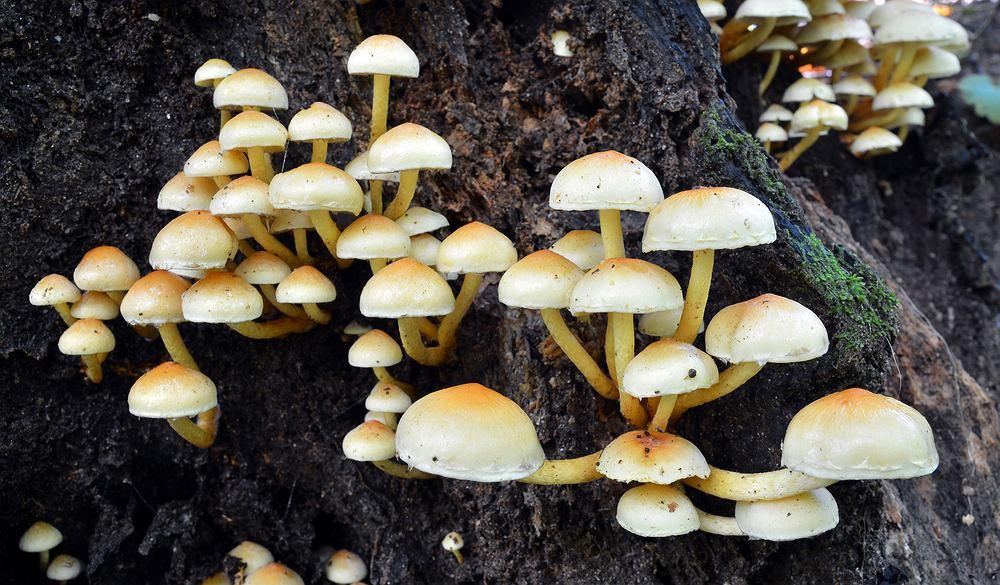 Maślanka wiązkowa (Hupholoma fasciculare) to pospolity grzyb trujący