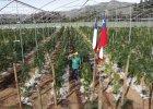 Wielki krok w kierunku dekryminalizacji marihuany. Chile uruchamia największą plantację w Ameryce Płd.