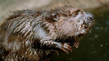 Robert Makłowicz komentuje pomysł Ardanowskiego dot. jedzenia bobrów