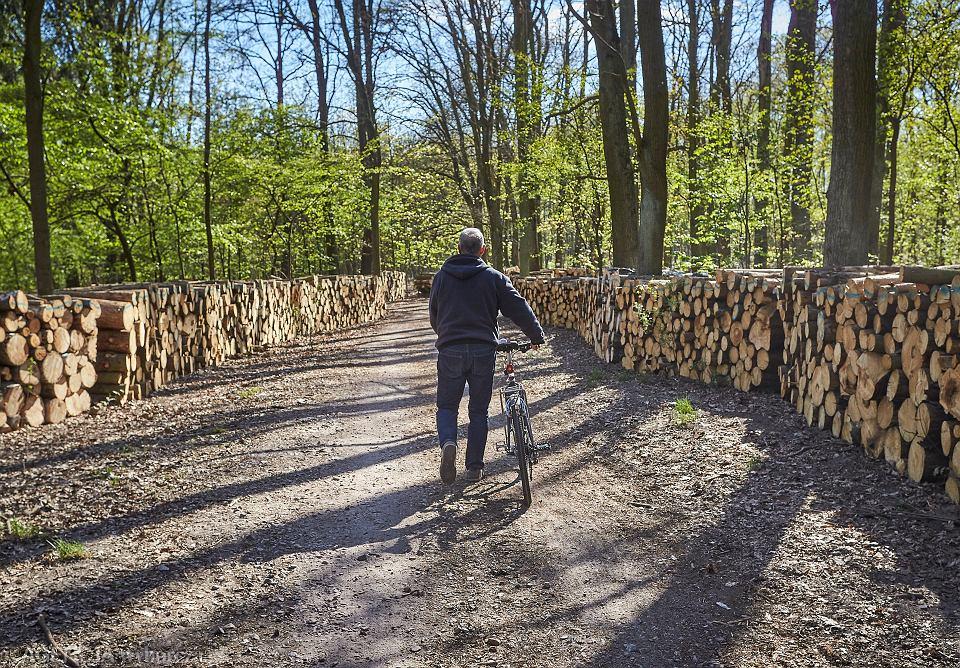 Wycinka w Lesie Łagiewnickim w Łodzi.
