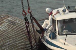 Akcja wyciągania na brzeg martwego wieloryba [WIDEO]