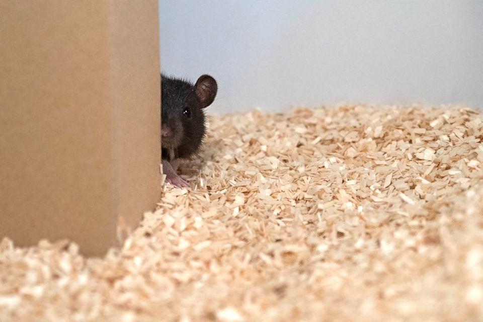 Szczur bawiący się z naukowcami w chowanego