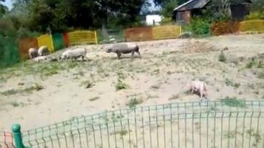 Po Łukowie biegało stado świń. Uciekły pijanemu właścicielowi.