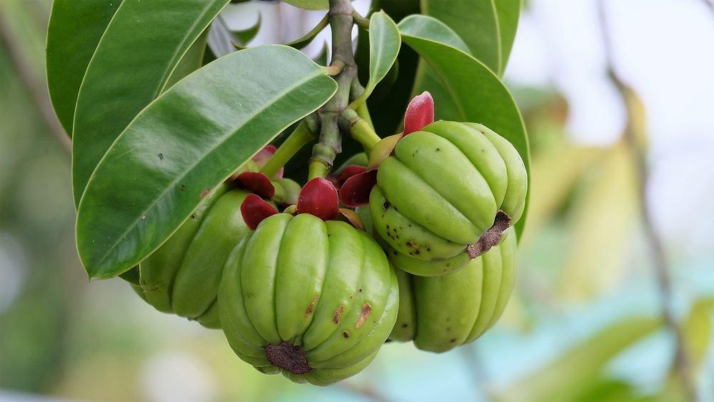 Garcinia cambogia to roślina cytrusowa występująca naturalnie w Indonezji