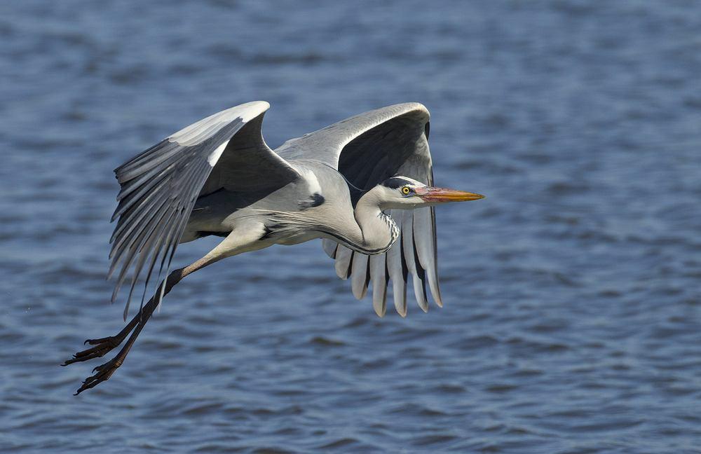 ptaki, które odlatują na zimę - czapla. Zdjęcie ilustracyjne