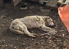 Pies dogorywał na terenie firmy budowlanej w Gliwicach. Był na łańcuchu, gryzł ziemię z głodu