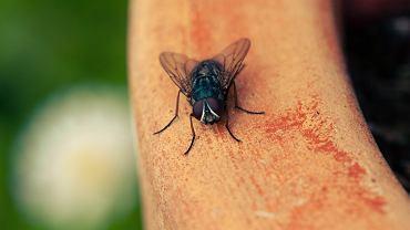 Sposoby na muchy. Jak pozbyć się much domowymi metodami? (zdjęcie ilustracyjne)