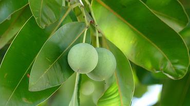Olejek z pestek drzewa tamanu korzystnie wpływa na kondycję skóry, co zostało potwierdzone badaniami naukowymi
